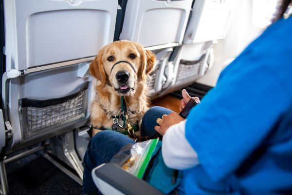 A Golden Retriever Puppy in Training sits politely in the leg room area of the airplane seats while wearing their green training vest.