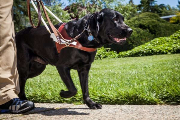 A black Lab guide dog walking briskly beside a person whose legs are shown.