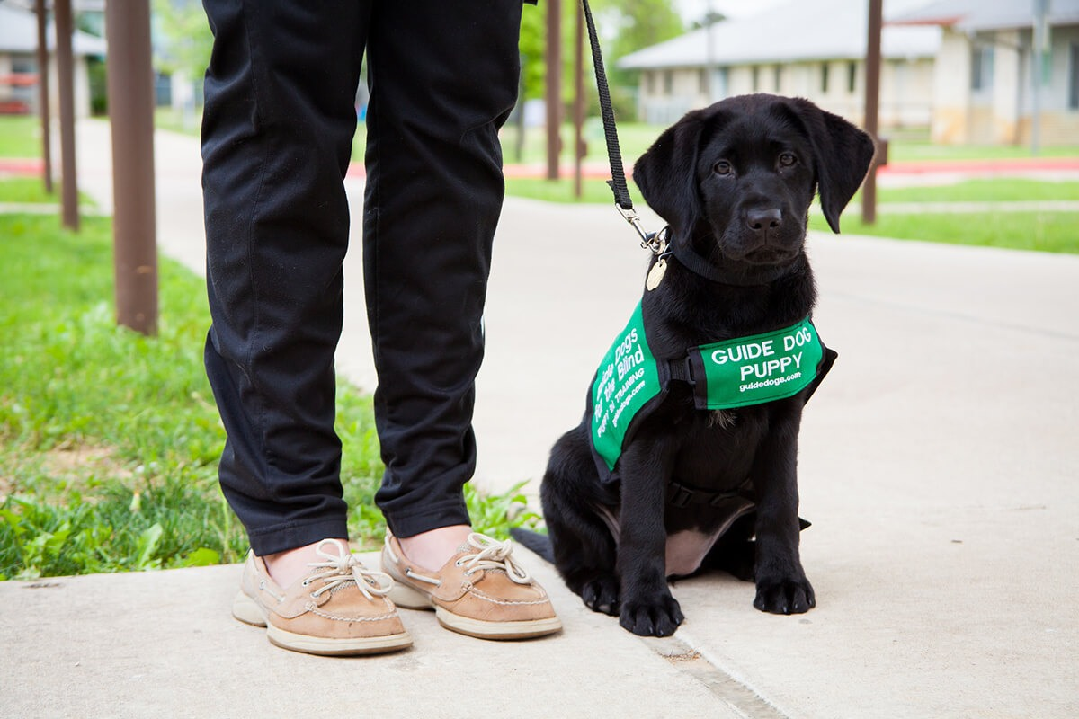 A black Lab puppy wearing a green puppy-in-training coat, next to the legs of a puppy raiser.