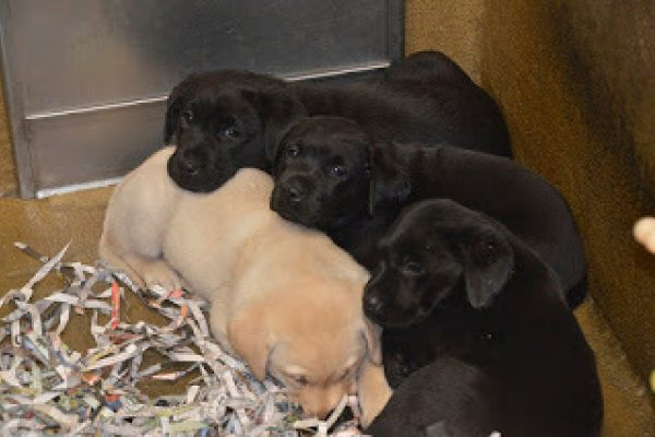 A pile of sleeping black and yellow Lab puppies.